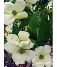 Cornus capitata 'Mountain Moon'