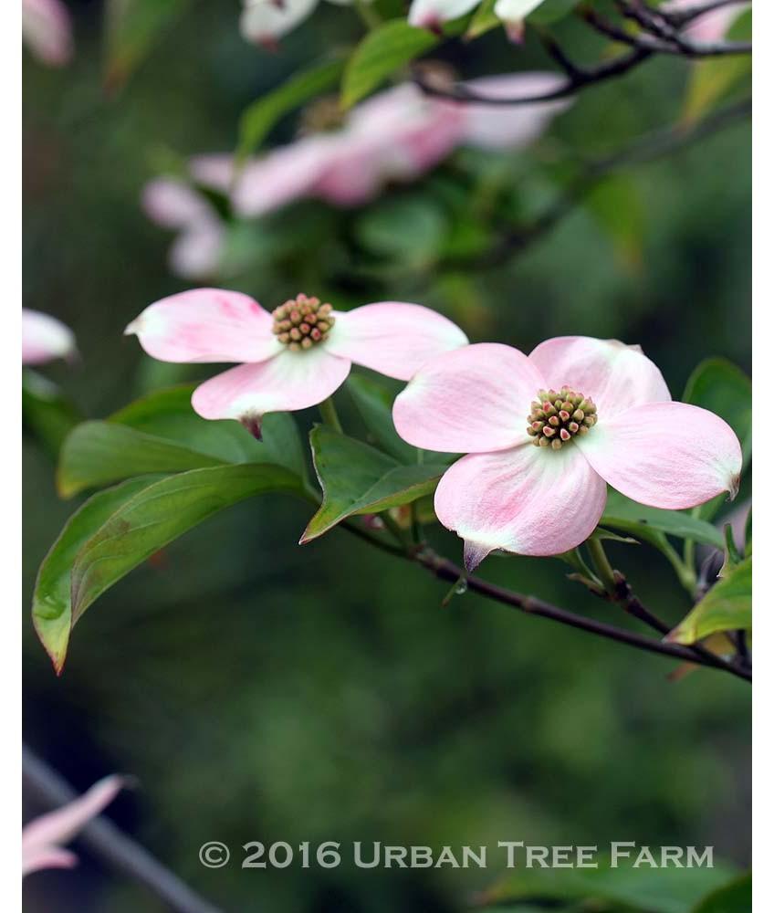Deciduous Ornamental Shade Cornus R Stellar Pink Urban Tree