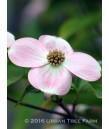 Cornus rutgersensis 'Stellar Pink'