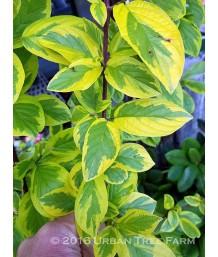 Cornus sericea 'Hedgerows Gold'