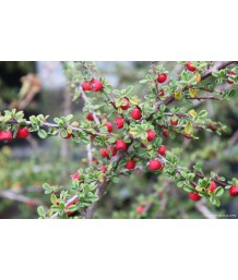 Cotoneaster d. Coral Beauty