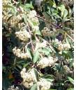 Cotoneaster parneyi/lacteus