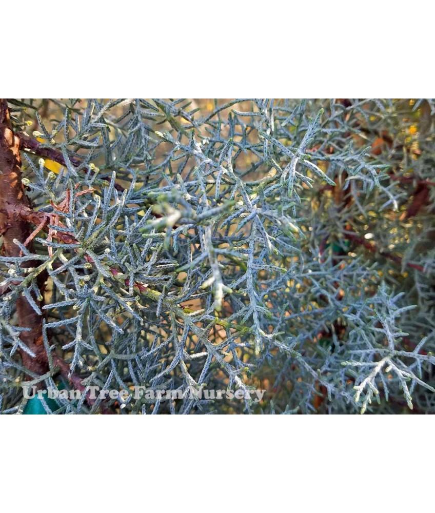 Conifers Cupressus A Blue Pyramid Urban Tree Farm Nursery