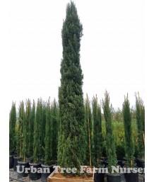 Cupressus sempervirens 'Glauca'