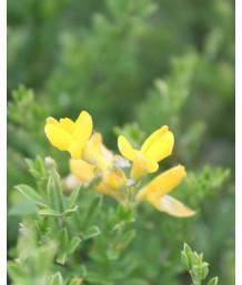 Cytisus spachianus