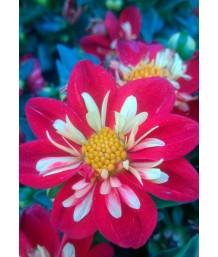 Dahlia 'Goldalia Scarlet'