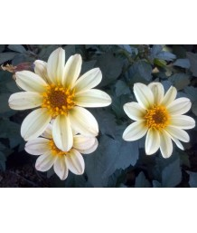Dahlia 'Happy Days White'