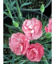 Dianthus X Pink Flamingo