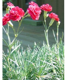 Dianthus caryophyllus 'Ruby's Tuesday'
