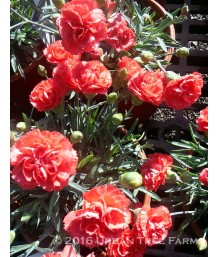 Dianthus x 'Early Bird Chili'