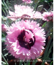 Dianthus x 'Early Bird Fizzy'