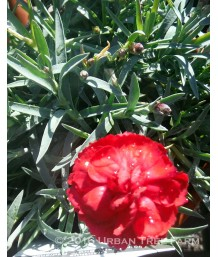 Dianthus x 'Early Bird Radiance'