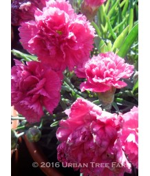 Dianthus x 'Early Bird Sherbet'