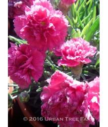 Dianthus x 'Early Bird Sherbet'