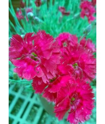 Dianthus x 'Fire Star'