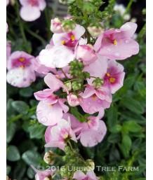 Diascia 'Darla Rose'