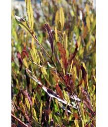 Dodonaea viscosa 'Purpurea' STD