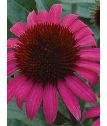 Echinacea p. After Midnight
