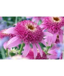 Echinacea p. Pink Dbl Delight