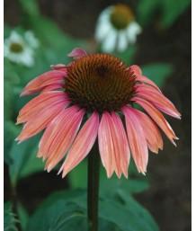 Echinacea purpurea 'Summersky'