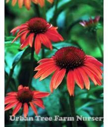 Echinacea purpurea 'Sundown'