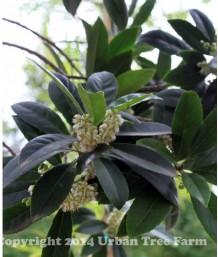 Elaeocarpus decipiens STD