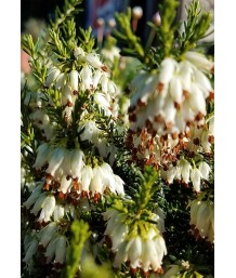 Erica carnea 'Springwood White'