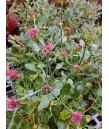 Eriogonum grande rubescens