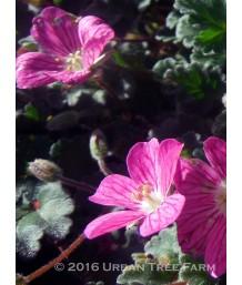 Erodium chamaedryoides 'Bishop's Form'
