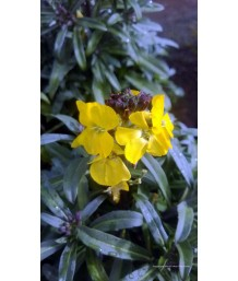 Erysimum x 'Fragrant Sunshine'