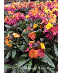 Erysimum x 'Winter Party'
