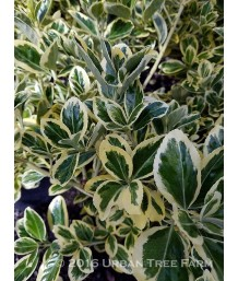 Euonymus j. Silver Queen