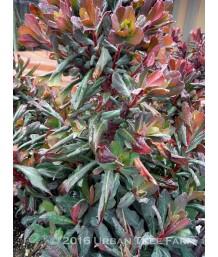Euphorbia amygdaloides 'Ruby Glow'