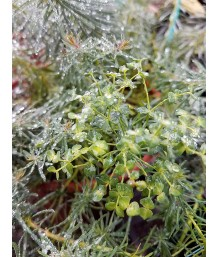 Euphorbia cyathophora 'Fens Ruby'