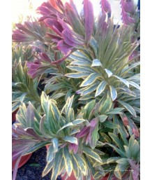 Euphorbia x mar. Ascot Rainbow