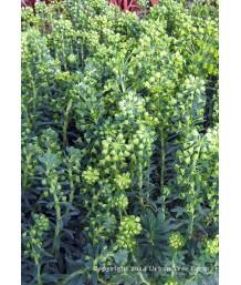 Euphorbia characias 'Wulfenii' x 'Shorty'