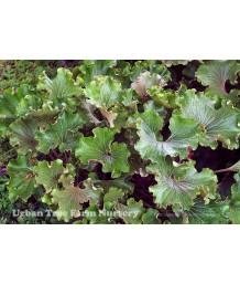 Farfugium japonicum 'Crispatum'
