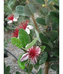 Feijoa sellowiana (bush)