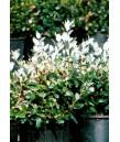 Feijoa sellowiana (bush)
