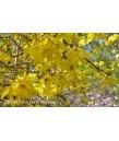 Forsythia intermedia 'Lynwood Gold'