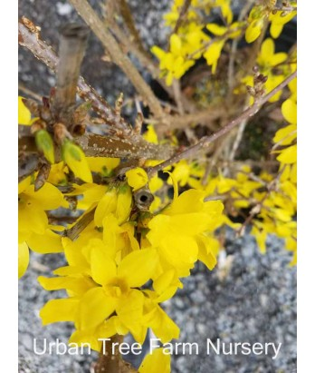 Forsythia intermedia 'Spring Glory'