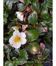 Fragaria chiloensis Green Past
