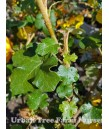 Fremontodendron 'San Gabriel'