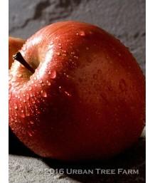 Fruit Apple Fuji ESPALLIER 3 TIER