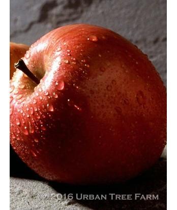 Fruit Apple Fuji ESPALIER 3 TIER