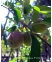 Fruit Apple Golden Delicious