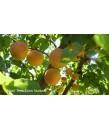 Fruit Apricot Royal Blenheim