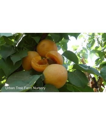 Fruit Apricot Tilton