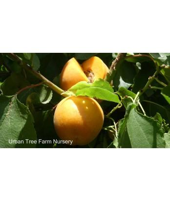 Fruit Apricot Tomcot