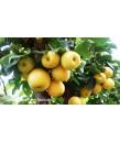 Fruit Asian Pear 20th Century